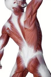 muscle torso